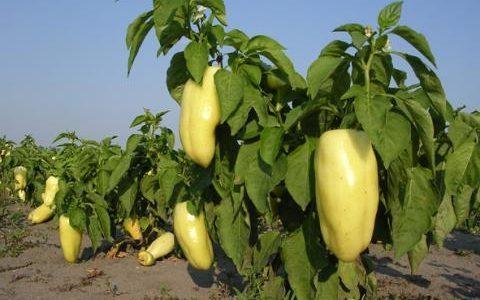 Ravnje je nadaleko poznato po proizvodnji paprike, a mnogim meštanima ovog sela je prodaja paprike jedini izvor prihoda. Međutim, ova godina,kažu mogla je biti i bolja. Opširnije pogledajte OVDE.