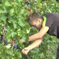 Učenici Srednje poljoprivredno prehrambene škole Stevan Petrović Brile u Rumi počleli su berbu grožđa. Kažu groždje je dobro rodilo, biće dva kilograma po čokotu , a u pitanju su vinske […]