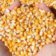 Kukuruz će i ove godina biti najzastupljenija biljna vrsta na njivama. Najveće površine zauzeće ovog proleća i kod Sremaca, koji su poznati i po rekordnim prinosima žutog zrna. Poljoprivredni stručnjaci […]