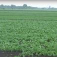 Nakon poslednjih kiša poljoprivredni proizvodjači nastaviće zaštitu useva protiv korova. Hemijski preparati koji su korišćeni posle setve, a pre nicanja useva, zbog nedostataka vlage nisu dali očekivane rezultate, tako da […]