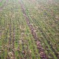 Ozimi usevi, pšenica i ječam, na teritoriji Opštine Irig su na osnovu sadašnjeg izgleda u dobrom stanju. Pšenica je ove jeseni sejana do polovine novembra, a neki poljoprivrednici su i […]