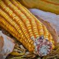 Berba kukuruza u Sremu polako se privodi kraju. Ovogdišnji prinos žutog zrna na većini njiva prelazi šest tona po jednom jutru. Ove godine dobra je i otkupna cena, a na […]