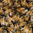 Pčelinja društva su već u fazi zimskog mirovanja jer su temperature ispod 10 stepeni. One su u zimskom klubetu i ne izlaze napolje, osim kada ima sunčanih perioda, pa one […]